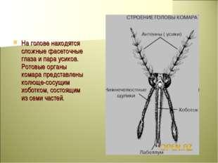 На голове находятся сложные фасеточные глаза и пара усиков. Ротовые органы ко