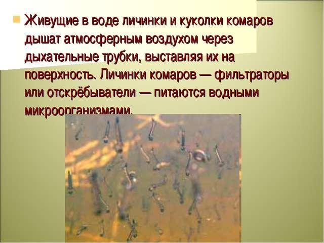 Живущие в воде личинки и куколки комаров дышат атмосферным воздухом через дых...