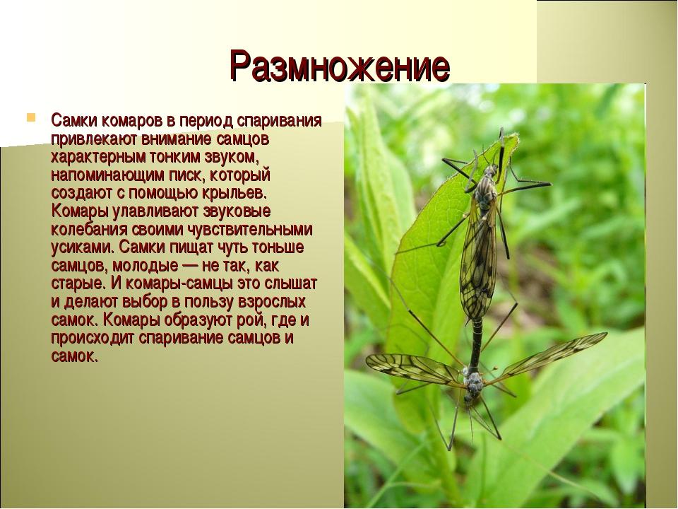Размножение Самки комаров в период спаривания привлекают внимание самцов хара...