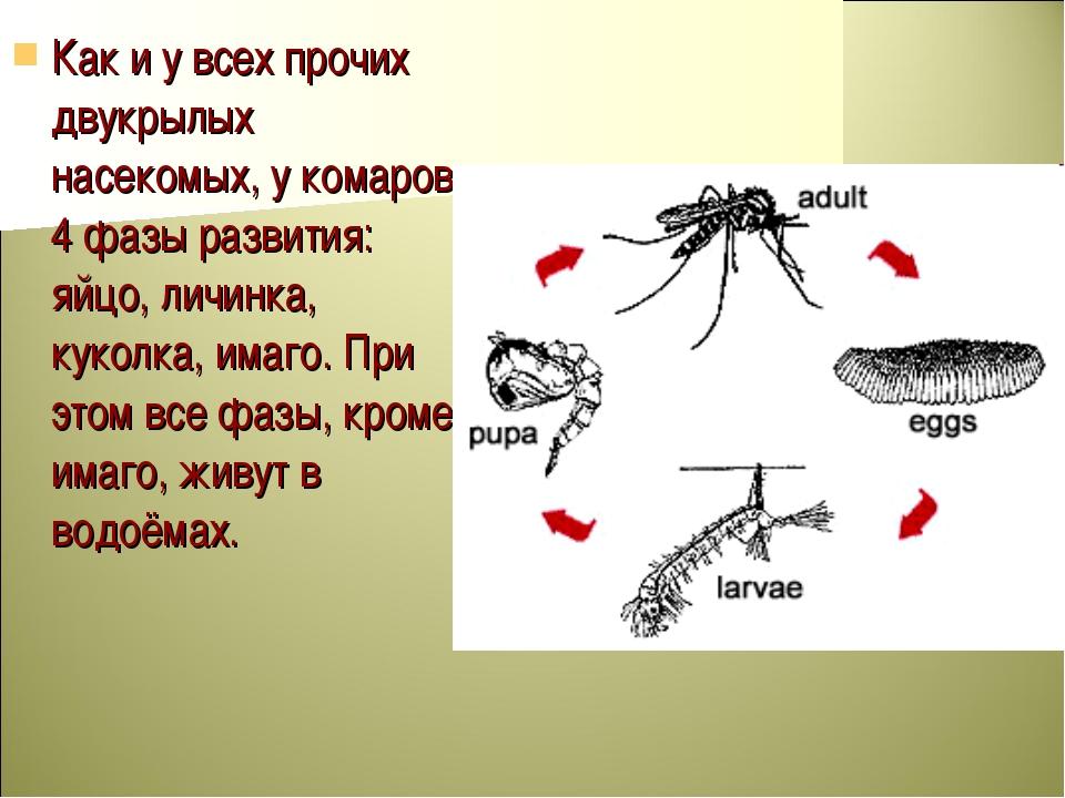 Как и у всех прочих двукрылых насекомых, у комаров 4 фазы развития: яйцо, лич...