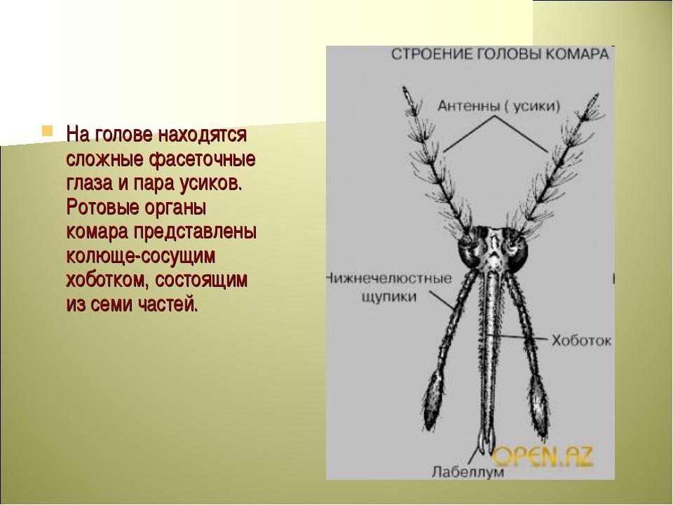 На голове находятся сложные фасеточные глаза и пара усиков. Ротовые органы ко...