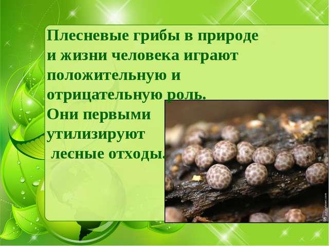 Плесневые грибы в природе и жизни человека играют положительную и отрицательн...