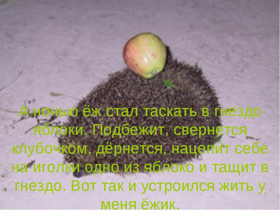 А ночью ёж стал таскать в гнездо яблоки. Подбежит, свернется клубочком, дёрне...