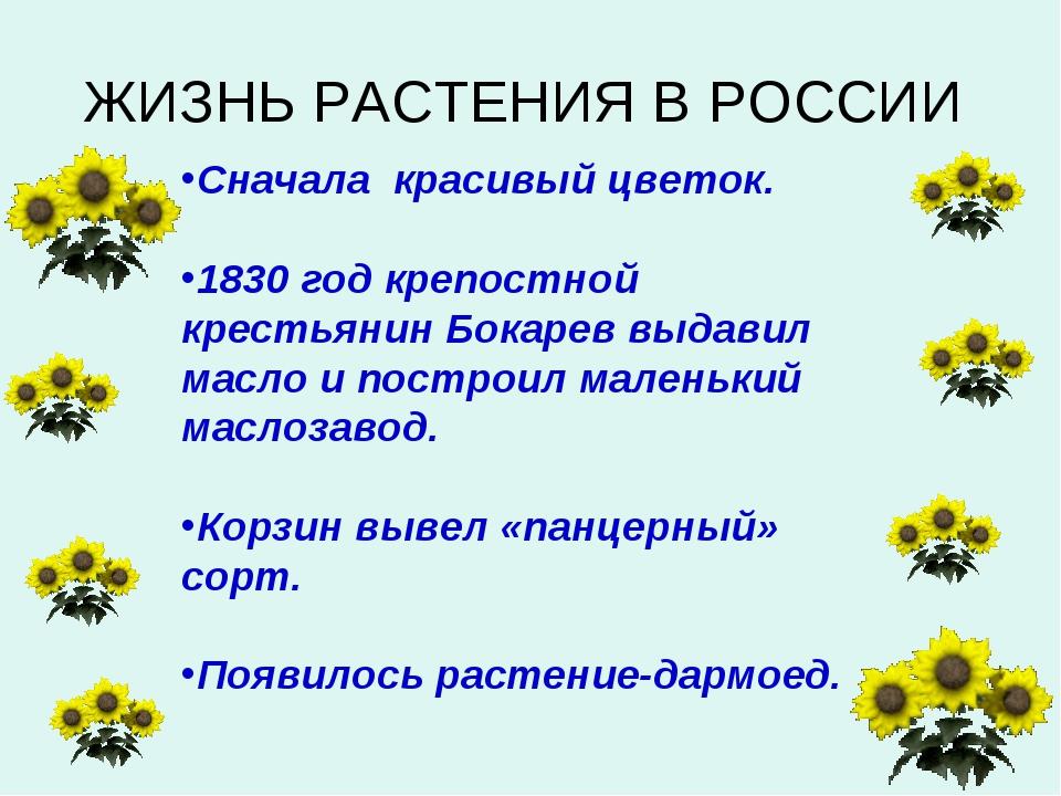 Сначала красивый цветок. 1830 год крепостной крестьянин Бокарев выдавил масло...