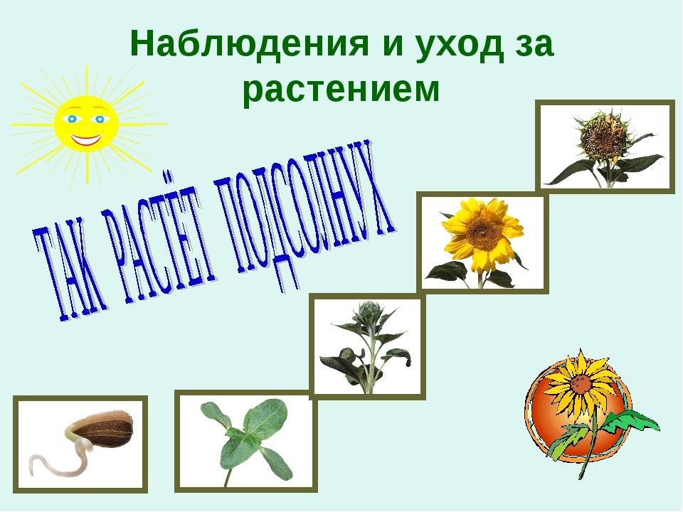 Наблюдения и уход за растением