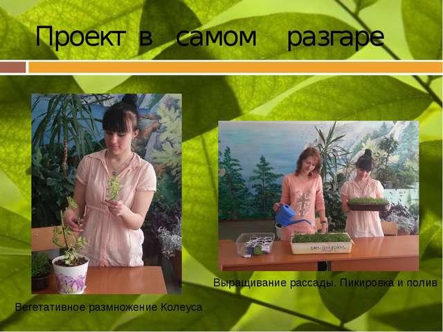 Проект в самом разгаре Вегетативное размножение Колеуса Выращивание рассады....