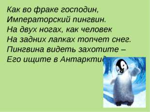 Как во фраке господин, Императорский пингвин. На двух ногах, как человек На з