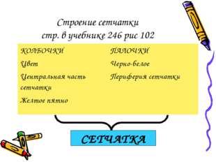 Строение сетчатки стр. в учебнике 246 рис 102 СЕТЧАТКА КОЛБОЧКИ Цвет Централь