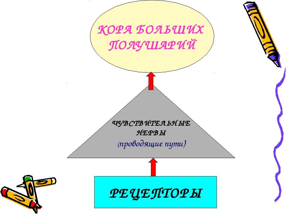РЕЦЕПТОРЫ КОРА БОЛЬШИХ ПОЛУШАРИЙ ЧУВСТВИТЕЛЬНЫЕ НЕРВЫ (проводящие пути)