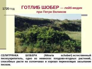 ГОТЛИБ ШОБЕР — лейб-медик при Петре Великом СЕЛИТРЯНКА ШОБЕРА (Nitraria schob