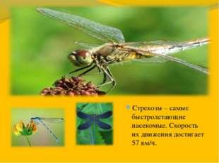 Стрекозы – самые быстролетающие насекомые. Скорость их движения достигает 57