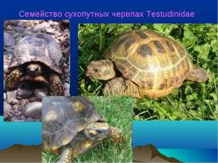 Семейство сухопутных черепах Testudinidae