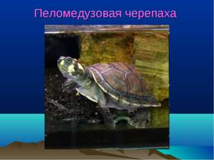 Пеломедузовая черепаха