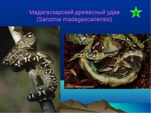 Мадагаскарский древесный удав (Sanzinia madagascariensis) Э