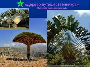 «Дерево путешественников» Ravenala madagascarirnsis Э