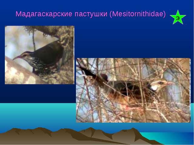 Мадагаскарские пастушки (Mesitornithidae) Э