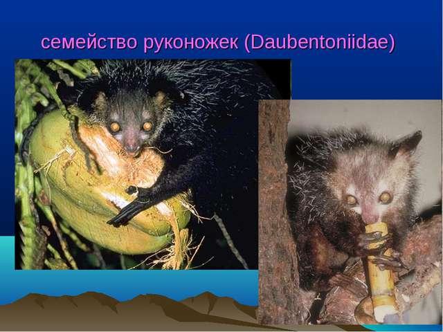 семейство руконожек (Daubentoniidae)
