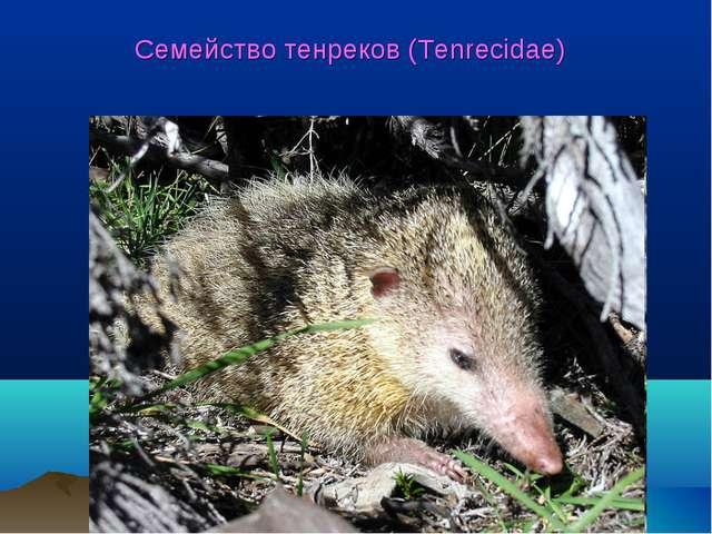 Семейство тенреков (Tenrecidae)