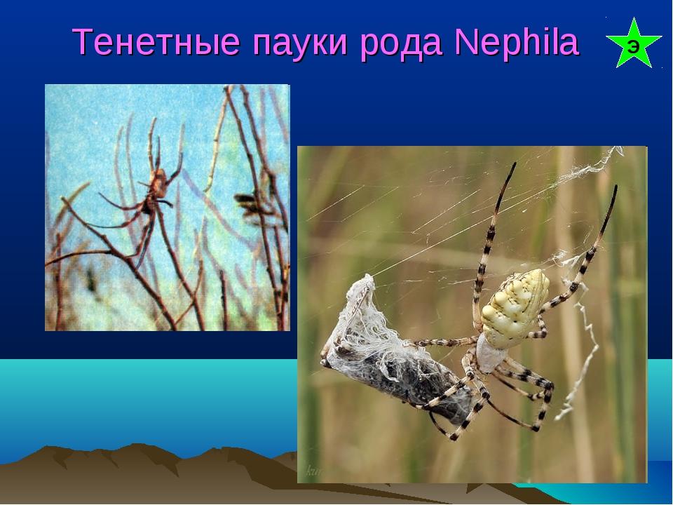 Тенетные пауки рода Nephila Э