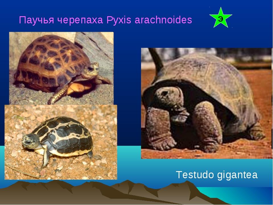 Э Паучья черепаха Pyxis arachnoides Testudo gigantea