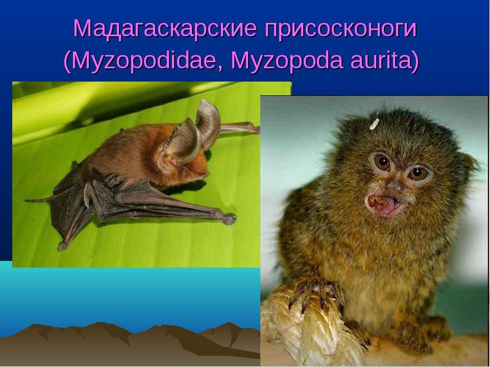 Мадагаскарские присосконоги (Myzopodidae, Myzopoda aurita)