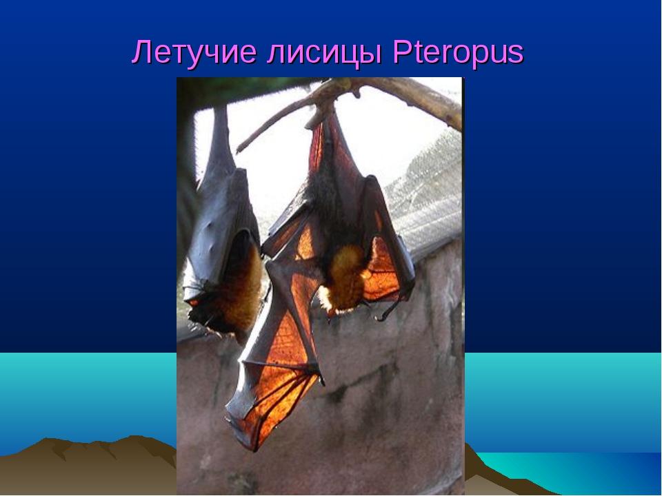 Летучие лисицы Pteropus