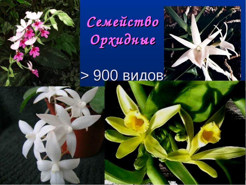 Семейство Орхидные > 900 видов