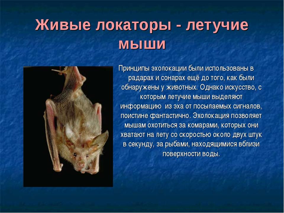 Живые локаторы - летучие мыши Принципы эхолокации были использованы в радарах...