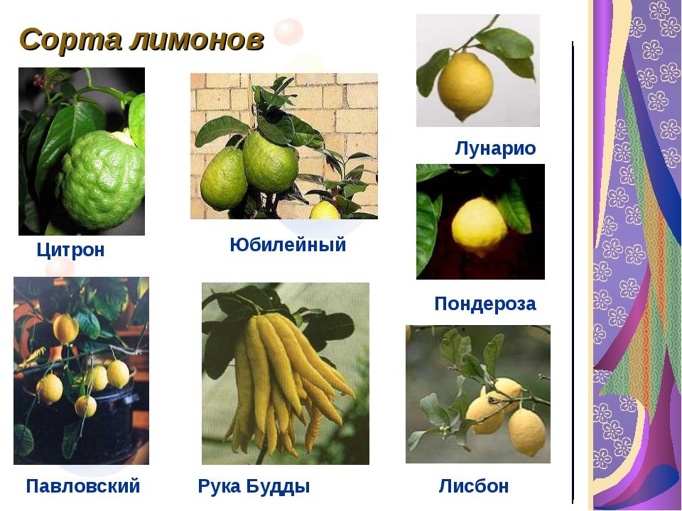 Сорта лимонов Пондероза Павловский Лунарио Лисбон Цитрон Рука Будды Юбилейный