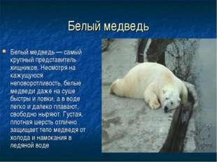 Белый медведь Белый медведь — самый крупный представитель хищников. Несмотря