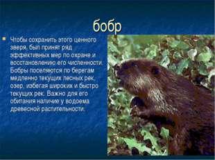 бобр Чтобы сохранить этого ценного зверя, был принят ряд эффективных мер по о