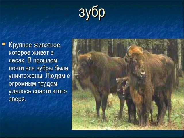 зубр Крупное животное, которое живет в лесах. В прошлом почти все зубры были...