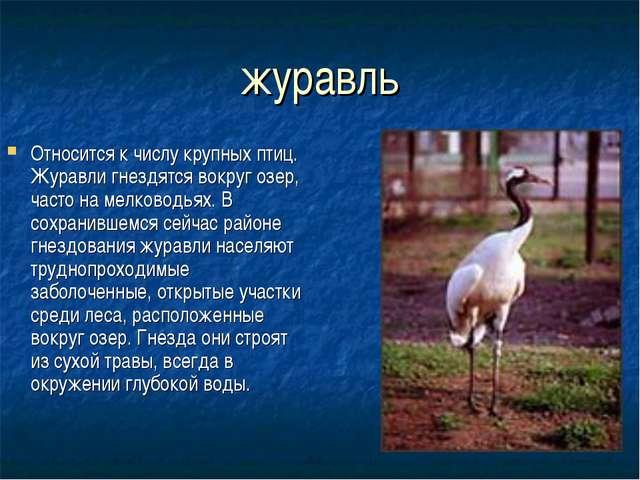 журавль Относится к числу крупных птиц. Журавли гнездятся вокруг озер, часто...