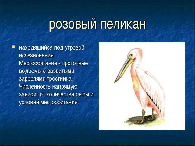 розовый пеликан находящийся под угрозой исчезновения Местообитание - проточны...