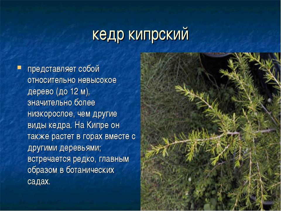 кедр кипрский представляет собой относительно невысокое дерево (до 12 м), зна...
