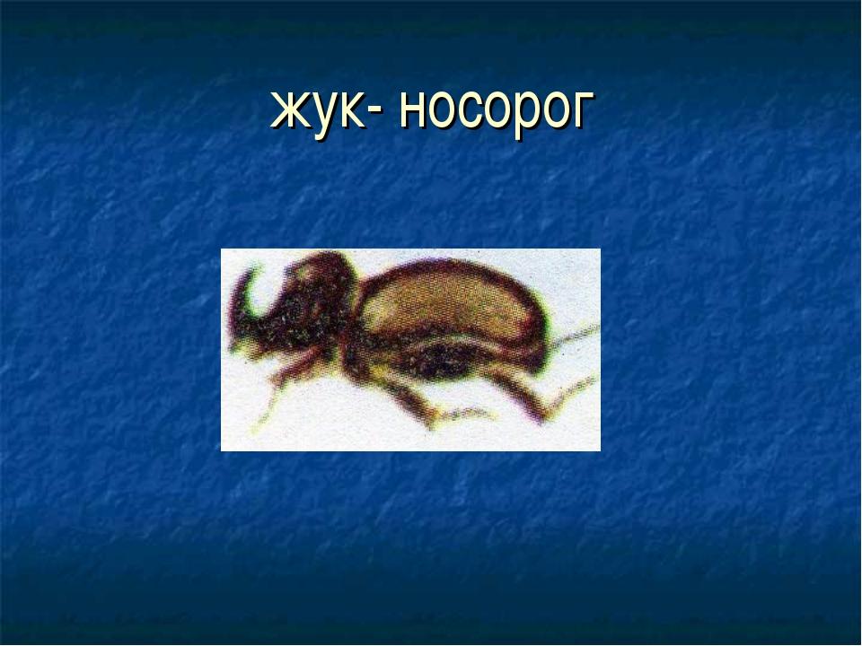 жук- носорог