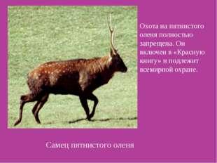 Самец пятнистого оленя Охота на пятнистого оленя полностью запрещена. Он вклю