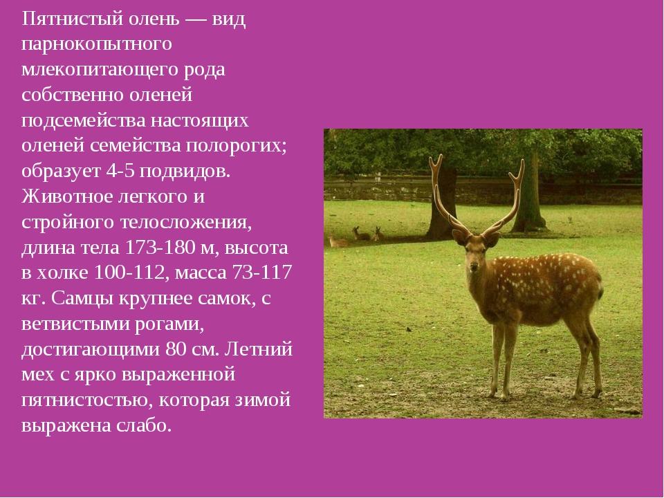 Пятнистый олень — вид парнокопытного млекопитающего рода собственно оленей по...