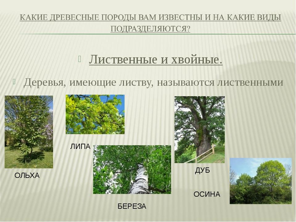 Лиственные и хвойные. Деревья, имеющие листву, называются лиственными ОЛЬХА Л...