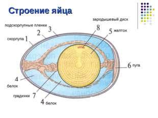 Строение яйца скорлупа подскорлупные пленки белок желток пуга градинки зароды