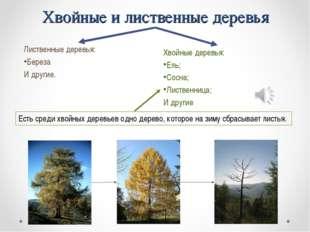Хвойные и лиственные деревья Лиственные деревья: Береза И другие. Есть среди