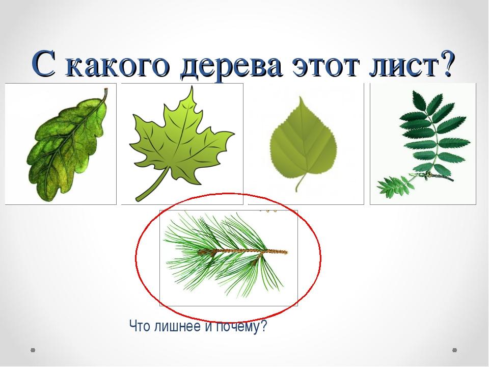 С какого дерева этот лист? Что лишнее и почему?