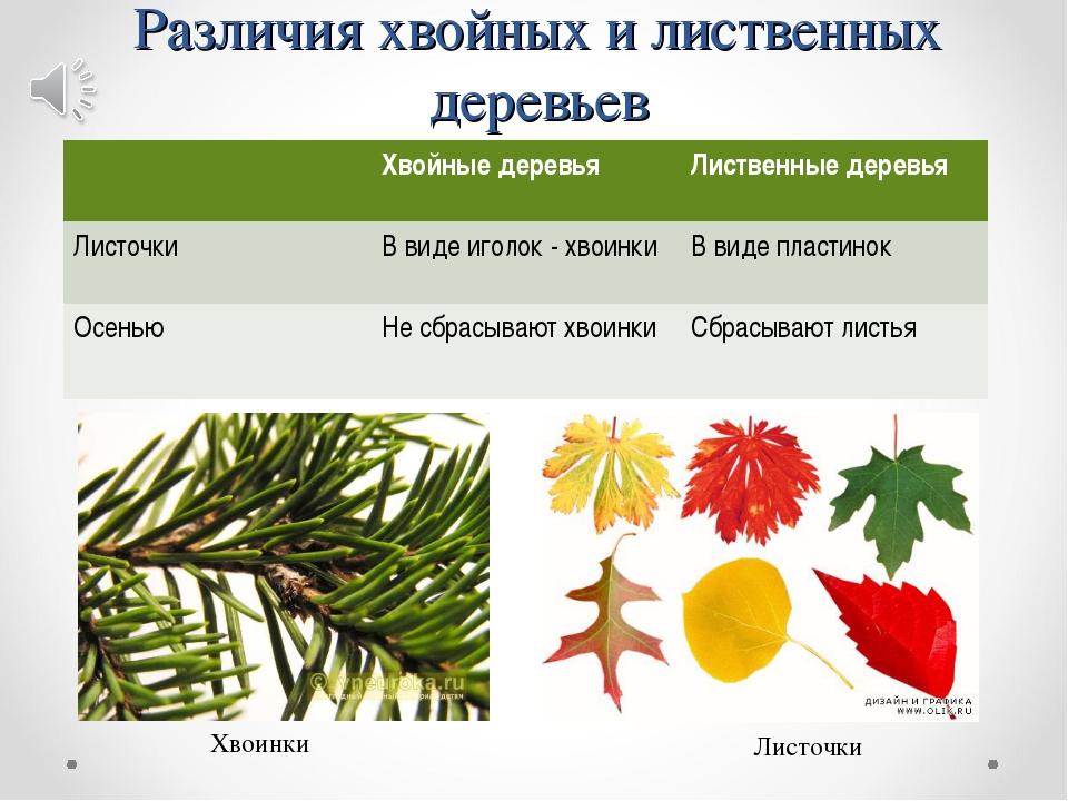 Различия хвойных и лиственных деревьев Хвоинки Листочки Хвойные деревьяЛист...