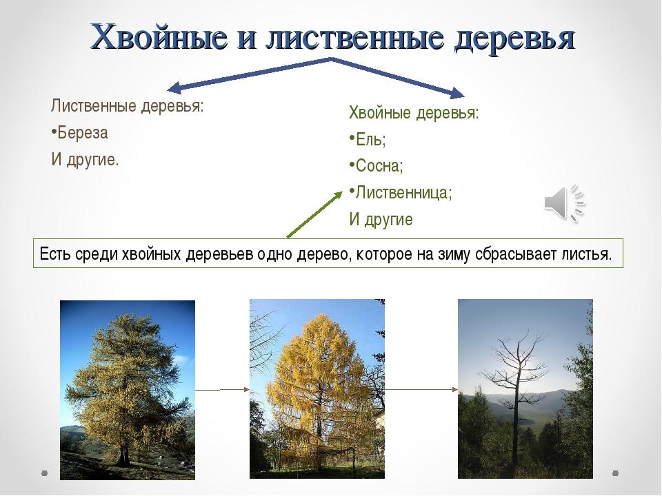 Хвойные и лиственные деревья Лиственные деревья: Береза И другие. Есть среди...