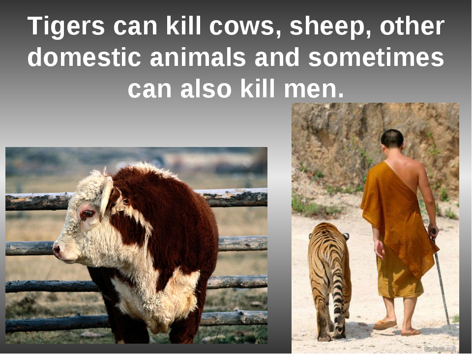 Tigers can kill cows, sheep, other domestic animals and sometimes can also ki...