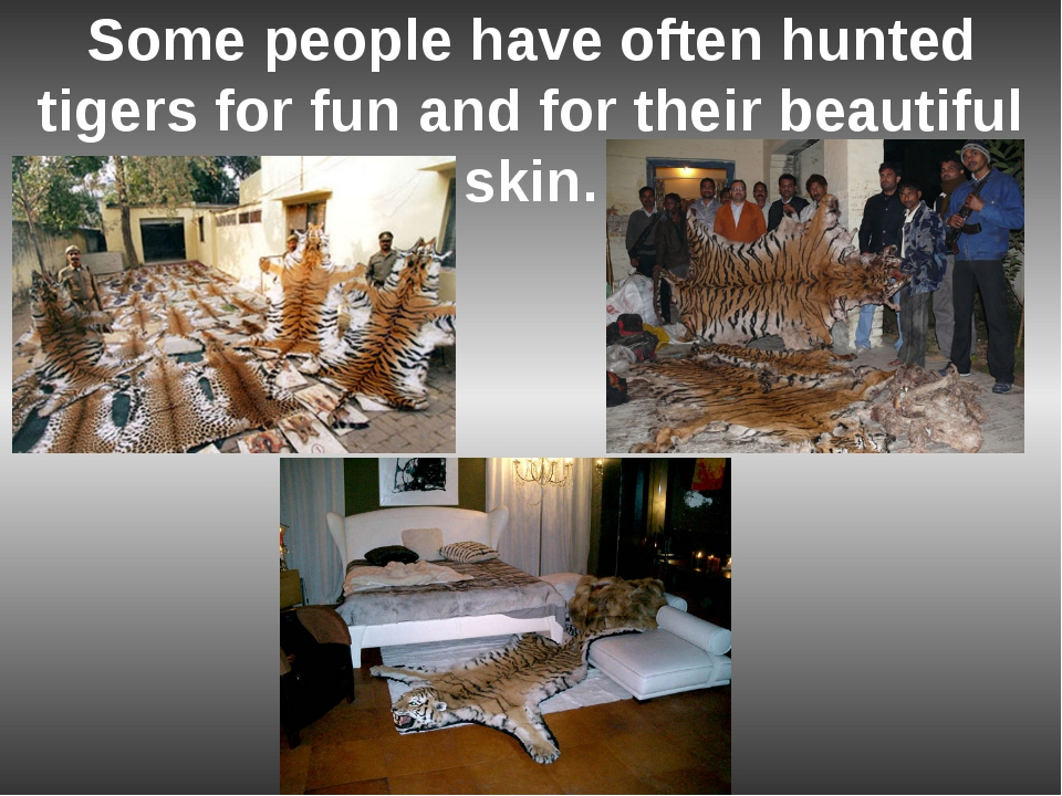 Some people have often hunted tigers for fun and for their beautiful skin.