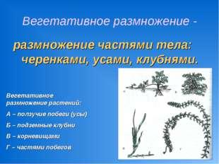 Вегетативное размножение - размножение частями тела: черенками, усами, клубня