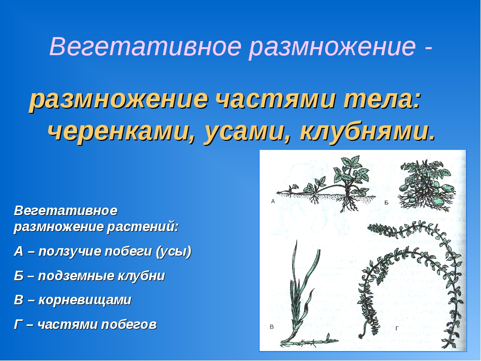 Вегетативное размножение - размножение частями тела: черенками, усами, клубня...