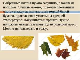 Собранные листья нужно засушить, сложив их пополам. Сушить можно, положив сло
