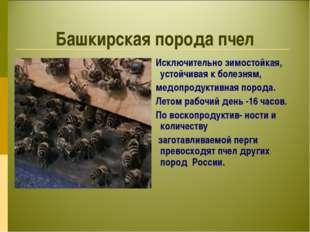 Башкирская порода пчел Исключительно зимостойкая, устойчивая к болезням, медо